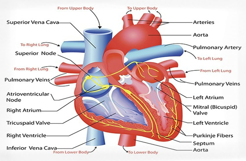 Contemporary heart anatomy blood flow crest anatomy and physiology outstanding heart anatomy blood flow image anatomy and physiology ccuart Images
